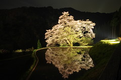 (KOMATSUNAGI NO SAKURA) (Kaz Nakajima) Tags: sakura k5   japan water flowers  cherry tree cherrytree reflection  pentax