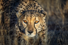 Cheetah in the morning light (Steven-ch) Tags: africa eos5dmarkiv wildlife travel namibia eyes morninglight canon lapalangegamelodge cheetah cat hardapregion na