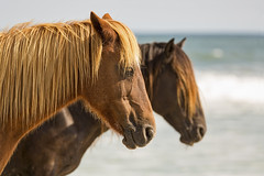 Peacefully Together (gimmeocean) Tags: assateagueislandnationalseashore assateagueisland assateague maryland md equines wildhorses horses beach ocean
