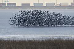 Dunlin panic (featherweight2009) Tags: dunlin calidrisalpina shorebirds sandpipers birds