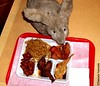 Seara (sea rabbit) curiously sniffing Dr. Takeshi Yamadas lunch at Lunch Box Buffet restaurant in Manhattan, New York on December 28, 2011.  20111228 018