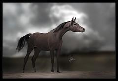 Arabian Horses (HANI AL MAWASH) Tags: art animal photo al kuwait hani صور 1color artphoto صوره الكويت فن كويت هاني animalkingdomelite mywinners فوتو colorphotoaward aplusphoto kuwaitphoto ارت المواش almawash almwash kuwaitartphoto kuwaitart ارتفوتو mawash
