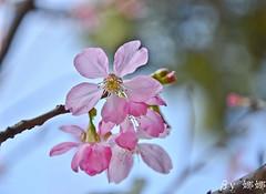 Sakura (娜 娜☂Nana) Tags: flowers plant flower love nature beautiful cherry spring nikon blossom bokeh taiwan lovely 台灣 春天 台灣taiwan bokehlicious 我愛台灣 d7000