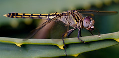 Munching dragonfly ... (D.Prakoso) Tags: macro insect dragonfly olympus ep2 m43 pl45