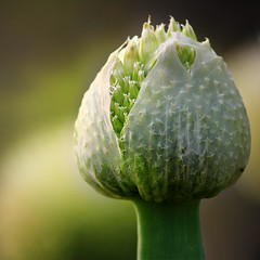 Bursting open (tanakawho) Tags: light plant flower green nature spring pod dof open bokeh cover squareformat thin burst leek tanakawho