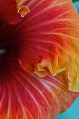 The hibiscus (Deb Jones1) Tags: flowers orange flower macro nature floral beauty canon garden botanical outdoors hibiscus blooms flickrduel flickrawards debjones1