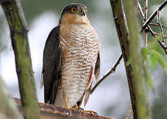 Sparrowhawk In The Rain 1 (Judy's Wildlife Garden) Tags: judykennett knightonpowys sparrowhawkintherain