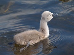 Little chap (PHILIP.ISOM) Tags: birds cygnet westportlake sigma55200mm olympuse510