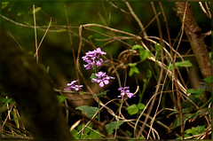 SoapWort (bobspicturebox) Tags: flowers wild dog sun cup robin evening buttercup tea song sparrow tulip garlic mustard foxes flytipping creeping thrush ramson cuckooflower afternnoon soapwort vixon jackinthehedge