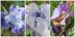 Iris-diff (Wicki Doo) Tags: flowers blue iris purple wickidoo
