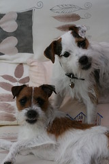 Say Cheese! (made by maxine) Tags: dog cute dave puppy dora jackrussell parsonrussellterrier