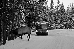(hatman003) Tags: road winter bw white snow canada black bus alberta banff elk banffnationalpark hiddenridge