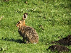 The Hare And The Mole Hill (Derbyshire Harrier) Tags: morning spring derbyshire peakdistrict dew limestone cropped whitepeak molehill brownhare 2013