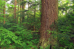 Hearts Content Scenic Area (12) (Nicholas_T) Tags: trees plants nature leaves forest moss spring hiking pennsylvania foliage creativecommons vegetation trunk ferns deciduous coniferous fagusgrandifolia undergrowth whitepines hemlocks oldgrowthforest understory pinusstrobus warrencounty alleghenynationalforest tsugacanadensis pennsylvaniawilds easternhemlocks easternwhitepines relictforest heartscontentscenicarea americanbeeches heartscontentscenicareainterpretivetrail