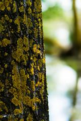 corteccia (miglio) Tags: lake lago bokeh siena albero corteccia riservanaturale ef100mmf2usm lagodimontepulciano canoneos7d