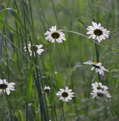 sneaking up on daisies (christiaan_25) Tags: light shadow white green nature beauty grass sunshine backlight back petals stems backside wildflower asteraceae oxeyedaisy leucanthemumvulgare asterfamily wonderfulworldofflowers