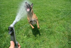 Water Fun (Scoutdogs (Chris)) Tags: dog water teeth biting highspeed stopaction belgianmalinois