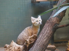 Curious Sand Cat (jennygriffiths1) Tags: berlin cat zoo jumping sand curious sandcat