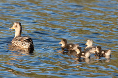 Follow mum (Nicholas Cowen) Tags: mother ducklings there dovestones reservoi