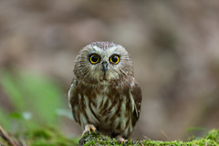 Luna, Saw-Whet Owl & Former TV Star, at the Muskoka Wildlife Centre (Christopher Brian's Photography) Tags: bird luna owl sawwhetowl muskokawildlifecentre canon7020028ii canoneos5diii