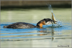 I'm gonna beat you into a fish fillet.. (Earl Reinink) Tags: ontario canada art nature photography nikon flickr photographer nest image images earl flikr grebe d4 art nikon photography images nature lens ontario canada ontbirds fine earl photographer lenses grebe reinink nesting reinink d4 rednecked niagara 201306191045