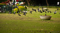 Fly away (Saurav Pandey) Tags: park india bird nature grass birds pigeon dove pigeons bangalore flock lawn karnataka doves columbalivia lalbagh rockdove rockpigeon