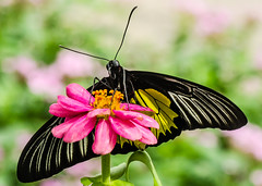 BF-13 (AZDenney) Tags: gardens butterflies insects publicgardens conservatories arboretums