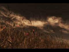 T R A U M A (Freddersen FF) Tags: sky rot nature heaven wind sommer natur wiese himmel wolken just fred bewegung unscharf ff trauma mohn mohnblume getreide windig 2013 wrlitzerpark freddersen