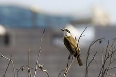 Bentivi (Rod.T28) Tags: colors birds riodejaneiro colours ngc pitangussulphuratus bentivi sonysal70300g sonya77