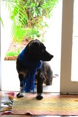 Bob the dog (Pedro_Alves) Tags: winter dog co nikon cachorro inverno cachecol d3100