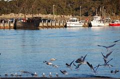 The Notorious in Ulladulla Harbour, Shoalhaven (John Panneman Photography) Tags: d50 nikon australia replica nsw sail ulladulla notorious shoalhaven silvergull thenotorious ulladullaharbour silvergulllarusnovaehollandiae