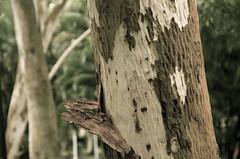Naked & raw trunk (Troy Jack) Tags: wood tree nature naked raw bare leopard bark trunk brazilian odc ironwood caesalpinia leopardtree ferrea nakedraw