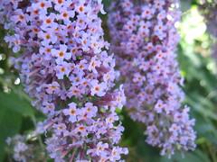 Wild Flowers (Scatteredmom) Tags: wildflowers chilliwack vedderriver