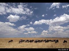 (bon__007) Tags: africa sky clouds nuvole safari cielo savannah kenia gnu masaimara wildbeest savana connochaetestaurinus