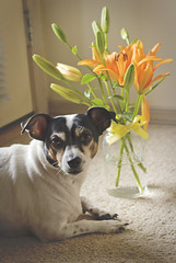 Sophie (Jessica Dye) Tags: family flowers portrait rescue orange plants usa dog pet brown white plant black flower cute green love water leaves yellow pose puppy jack nose leaf stem eyes russell sweet mason sophie tan posed ears canine retro terrier masonjar jackrussell jar ribbon arkansas bouquet paws jackrussellterrier matte petportrait petphotography mattefinish jessicadye