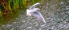 Elegance... (laufar1) Tags: bird canon inflight seagull pondlife