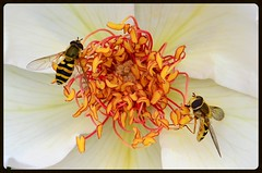 Hoverfly Heaven (Rob McC) Tags: flower macro petals insects hoverfly