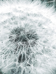 Blow Me Away (Steve Taylor (Photography)) Tags: blue white plant black macro closeup ball flora soft fluffy blow dandelion seeds delicate makeawish