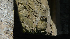 Lookout (ye sons of art) Tags: uk england bird castle heritage history ruin somerset owl nunney
