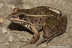 Plains Leopard Frog (Lithobates blairi) (Andrew Hoffman) Tags: animal photography wildlife indiana andrew frog leopard plains rana hoffman ranidae blairi lithobates