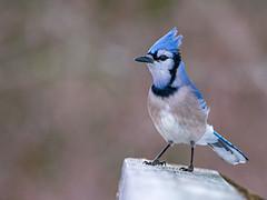 Geai Bleu (Anthony Fontaine photographe animalier) Tags: geai bleu nikon d7100 300mm f4 marais du nord qubec wild life wildlife nature sauvage animaux photographie nikkor