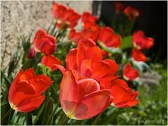 Des tulipes !