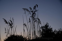 SEVERAL SHADES OF GREY (Simon R Brook) Tags: sunset sky silhouette reeds evening grandunioncanal hillingdon 18200mmvrf3556g slougharm d7000 simonrbrook