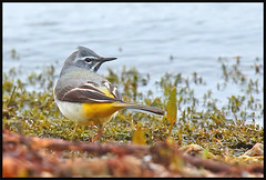 Watch your back (M_squared Images) Tags: hants greywagtail roughwater motacillacinerea strongwinds blashfordlakes msm1935