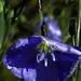Blue Flax 4