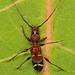 Day 136 - Long-horned Beetle - Euderces pini, Pickering Creek Audubon Center, Easton, Maryland
