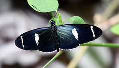 Heliconius sara (threejumps) Tags: southamerica butterfly insect ecuador lepidoptera papillon mariposa