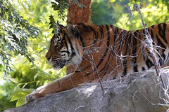 Tiger, Adelaide Zoo