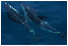 Kaikoura Dolphins (whitebear100) Tags: newzealand dolphins nz kaikoura
