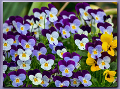 Violas (I) (gtncats) Tags: flowers white nature yellow outside outdoors colorful purple frame gradient violas ef70300mm canon70d photographyforrecreation infinitexposure